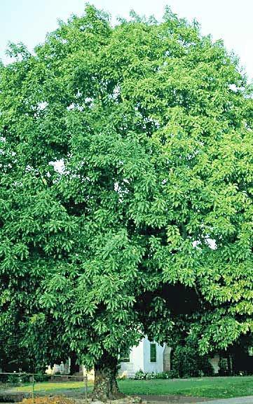 Strom - Hruškovec přelahodný