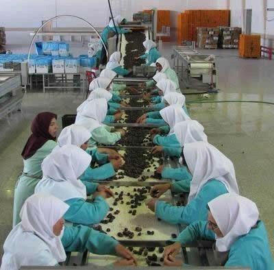 Třídění datlí v Iránské fabrice