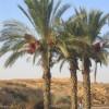 Datlová palma - kliknutím zobrazíte obrázek v plné velikosti