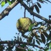 Durian na stromě - kliknutím zobrazíte obrázek v plné velikosti
