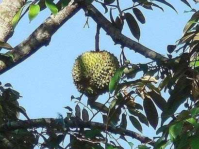 Durian na stromě