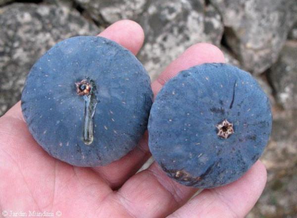 Černý fík (odrůda)