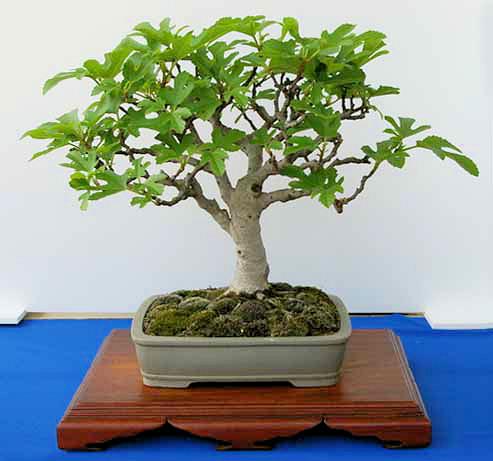 Bonsai pěstování