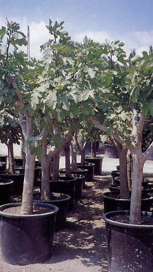 Předpěstované fíkovníky pro sady