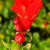 Květ granátovníku - kliknutím zobrazíte obrázek v plné velikosti