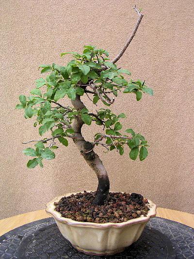 Tomel japosnký jako bonsai