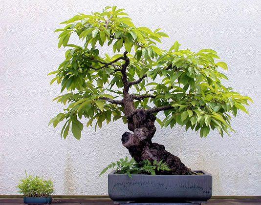 Tomel japosnký ve formě bonsaie