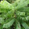 Strom karambola - kliknutím zobrazíte obrázek v plné velikosti