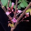 Květy karamboly - kliknutím zobrazíte obrázek v plné velikosti