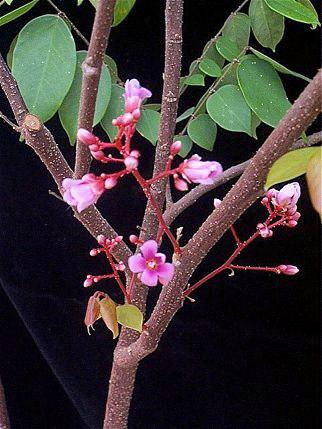 Květy karamboly