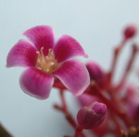Květ karamboly
