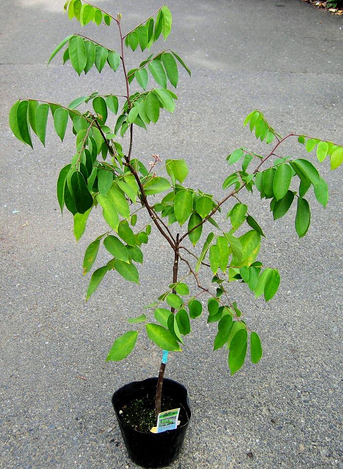 Mladý stromek karamboly