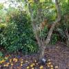Karambola - strom - kliknutím zobrazíte obrázek v plné velikosti