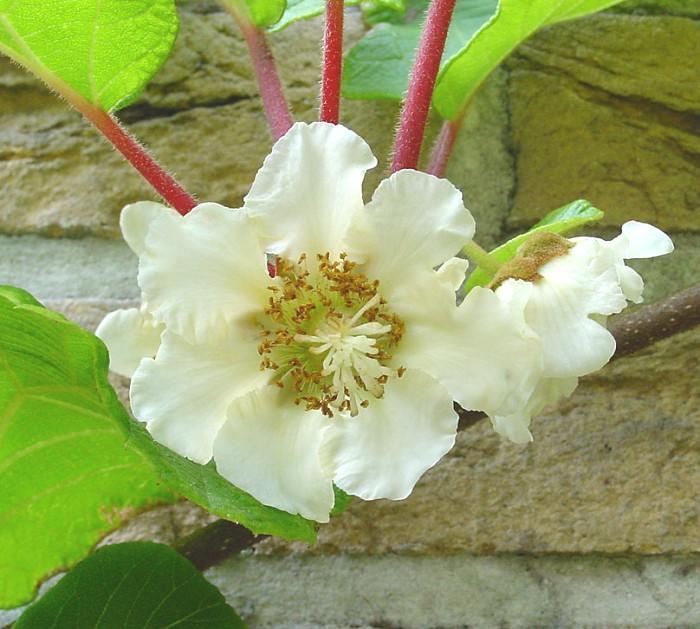 Actinidia chinensis - květ