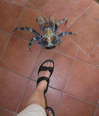 Krab palmový  - Největší suchozemský krab na světě. Krab palmový se dorůstá délky až 40cm a dosahuje hmot ...