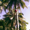 Kokosový palma - kliknutím zobrazíte obrázek v plné velikosti