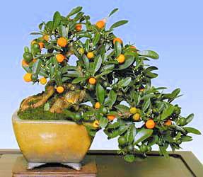 Kumquat - bonsai