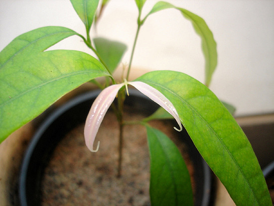 Mladá rostlinka liči