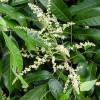 Longan - květ - kliknutím zobrazíte obrázek v plné velikosti