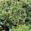 Obsypaný strom Mango - kliknutím zobrazíte obrázek v plné velikosti
