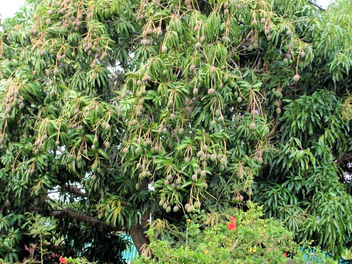 Obsypaný strom Mango