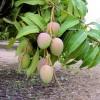 Zrající mango na stromě - kliknutím zobrazíte obrázek v plné velikosti