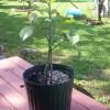 Mangostan - pěstování