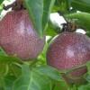 Passiflora Edulis - ovoce na stromě - kliknutím zobrazíte obrázek v plné velikosti