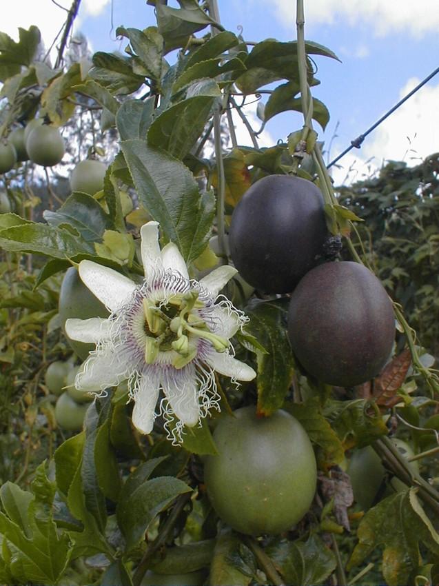 Passiflora edulis f. edulis