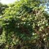 Passiflora edulis vine - kliknutím zobrazíte obrázek v plné velikosti