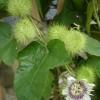 Passiflora foetida - květ - kliknutím zobrazíte obrázek v plné velikosti
