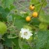 Passiflora foetida - kliknutím zobrazíte obrázek v plné velikosti