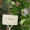 Passiflora gibertii - kliknutím zobrazíte obrázek v plné velikosti