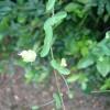 Passiflora misera - kliknutím zobrazíte obrázek v plné velikosti
