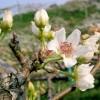 Květy nashi - kliknutím zobrazíte obrázek v plné velikosti