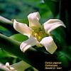 Květ papay - kliknutím zobrazíte obrázek v plné velikosti