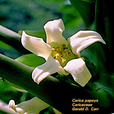 Květ papay