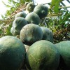 Papaya - kliknutím zobrazíte obrázek v plné velikosti