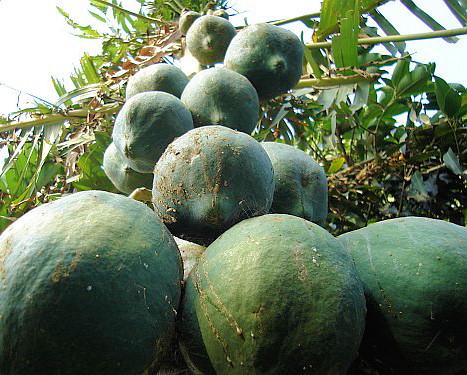 Papaya pěstování