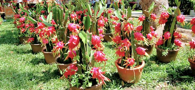 Pitaya v květináči