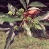 Mladé plody rambutanu - kliknutím zobrazíte obrázek v plné velikosti