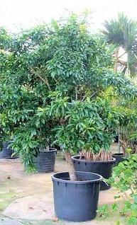 Pěstování tymiánu v květináči