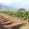 Pěstování sweetie v Izraeli - kliknutím zobrazíte obrázek v plné velikosti