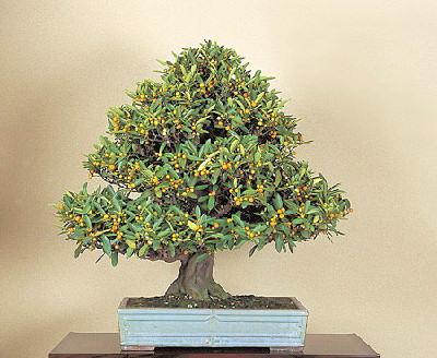 kumquat  bonsai  kumquat  pěstování  exotické ovoce, Beautiful flower