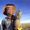 Na ananasové farmě - kliknutím zobrazíte obrázek v plné velikosti