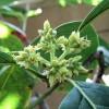 Květ avokáda - kliknutím zobrazíte obrázek v plné velikosti