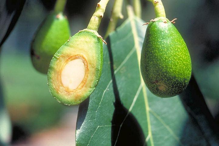 Mladý plod avokáda
