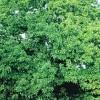 Strom - Hruškovec přelahodný - kliknutím zobrazíte obrázek v plné velikosti