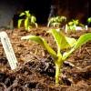 Meloun Cantaloupe - kliknutím zobrazíte obrázek v plné velikosti