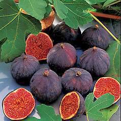 Černá odrůda fíku